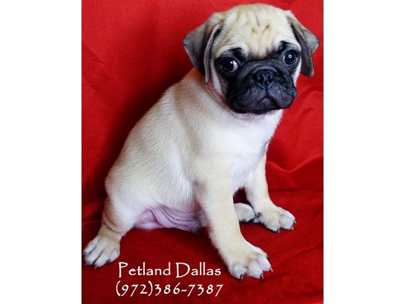 Pug-Male-Fawn-2859789-Petland Dallas, TX