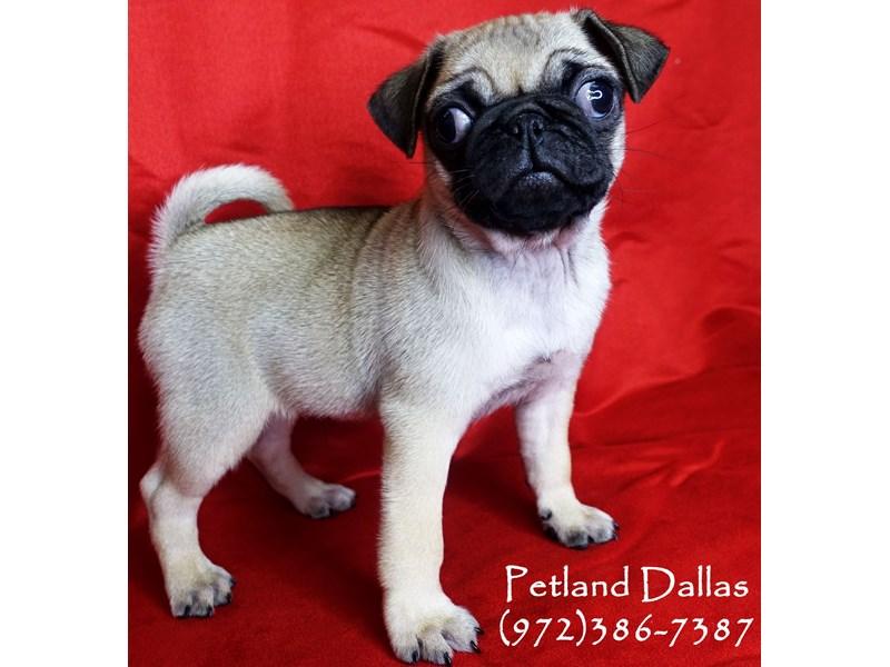 Pug-Female-Fawn-2859786-Petland Dallas, TX