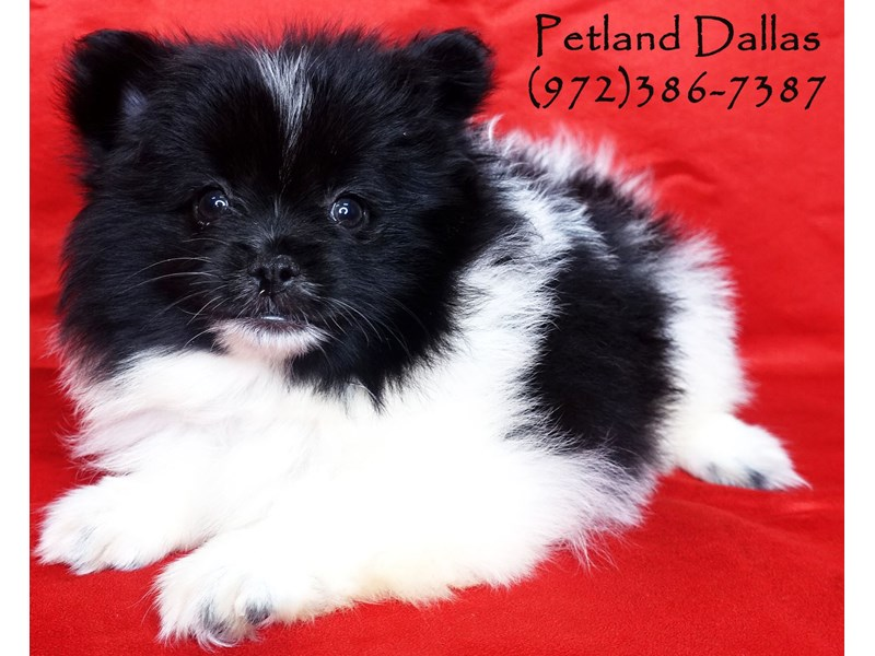 Pomeranian-Female-Black and White-2859779-Petland Dallas, TX
