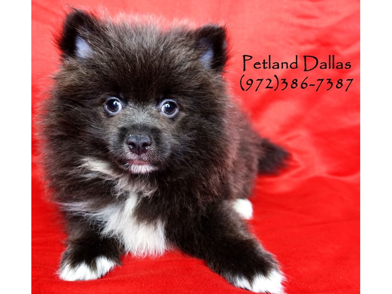 Pomeranian-Male-Grey and White-2859768-Petland Dallas, TX