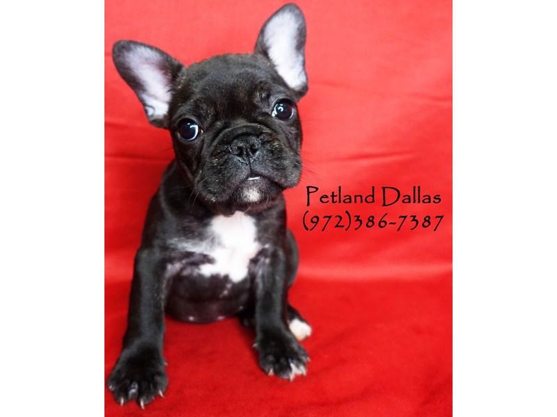 French Bulldog-Female-Black Brindle-2860524-Petland Dallas, TX