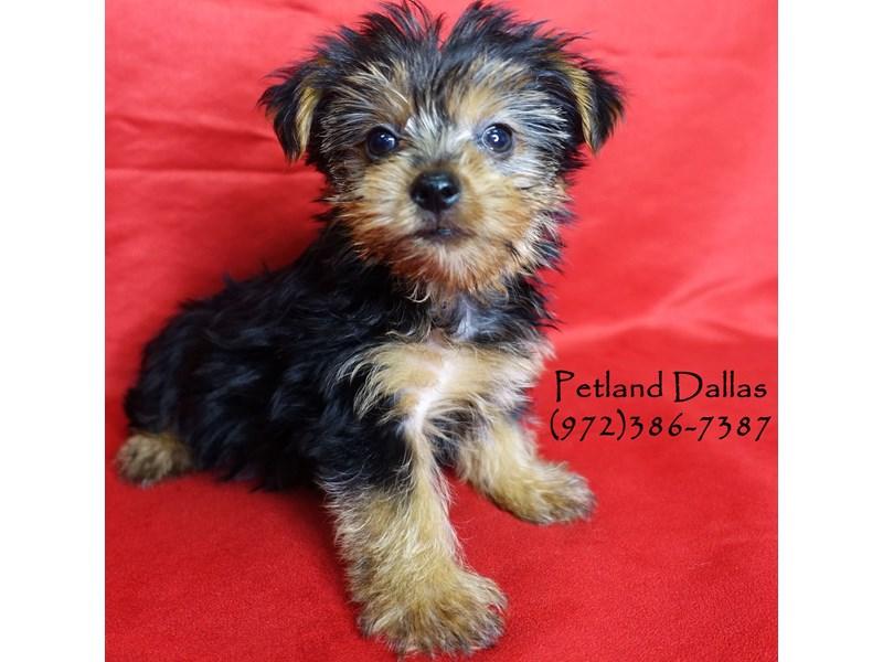 Yorkshire Terrier-Female-Black Tan-2860511-Petland Dallas, TX