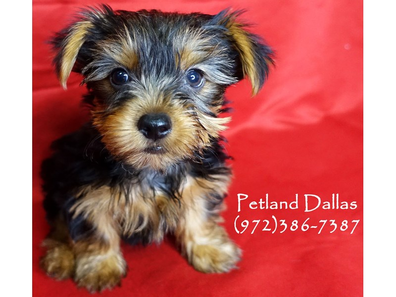 Yorkshire Terrier-Male-Black Tan-2860509-Petland Dallas, TX