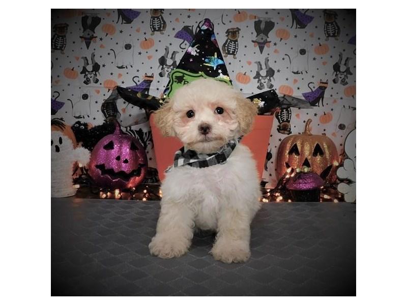 Miniature Poodle-Male-Apricot-2861563-Petland Dallas, TX