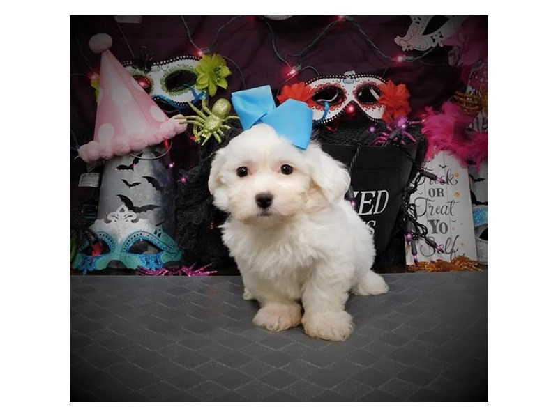 Teddy Bear-Female-White-2861570-Petland Dallas, TX