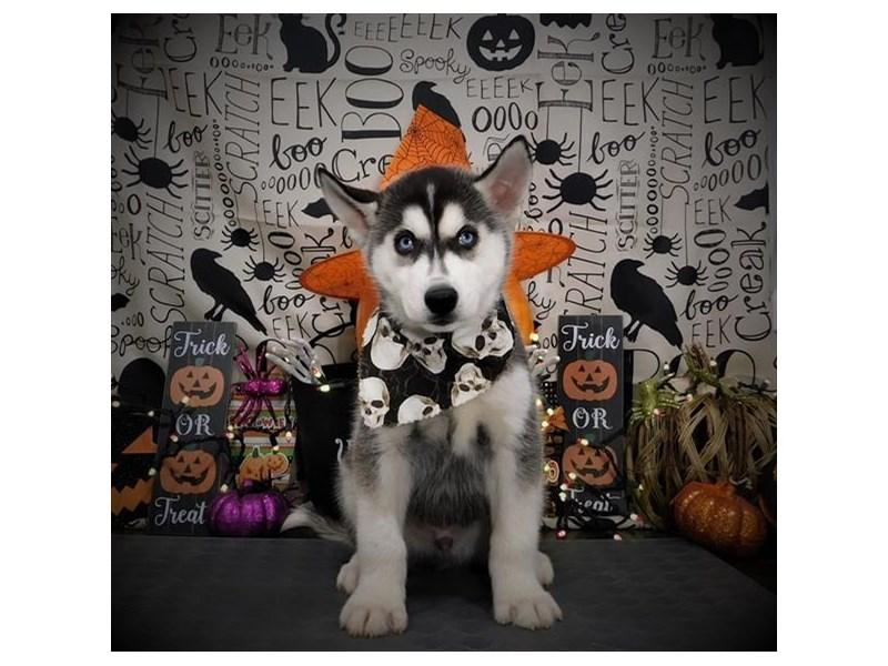 Siberian Husky-Male-Black / White-2861571-Petland Dallas, TX
