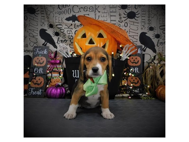 Beagle-Female-Black Tan / White-2861572-Petland Dallas, TX