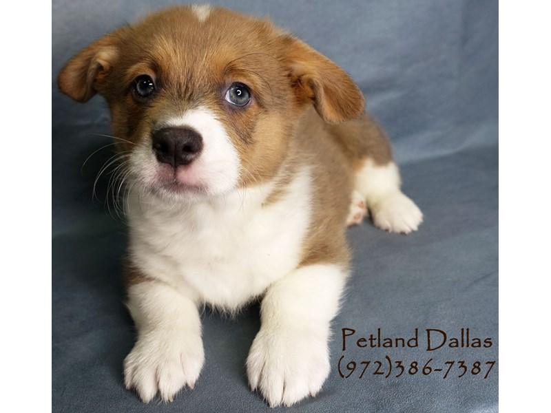 Pembroke Welsh Corgi-Male-Sable & White-2863458-Petland Dallas, TX