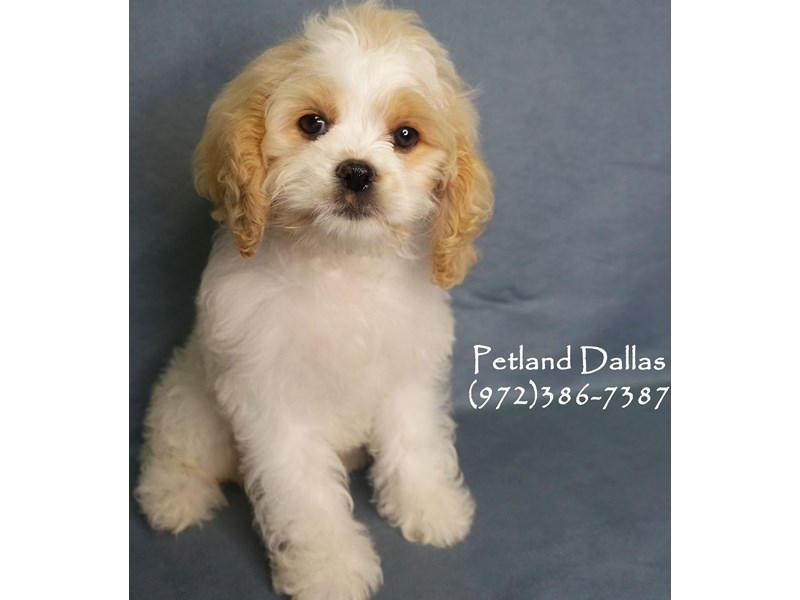 Cockapoo-Female-White with Bheim-2863241-Petland Dallas, TX