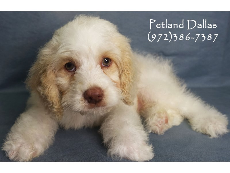 Cockapoo-Male-White with Bheim-2863240-Petland Dallas, TX