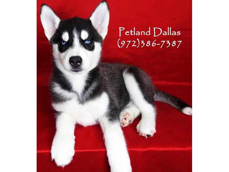 Siberian Husky-Female-Black and White-2863193-Petland Dallas, TX