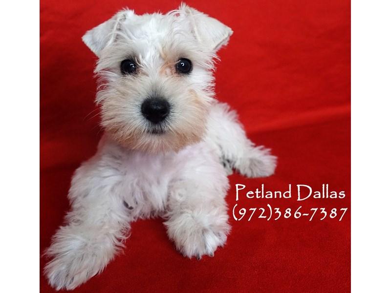 Miniature Schnauzer-Female-White-2863152-Petland Dallas, TX