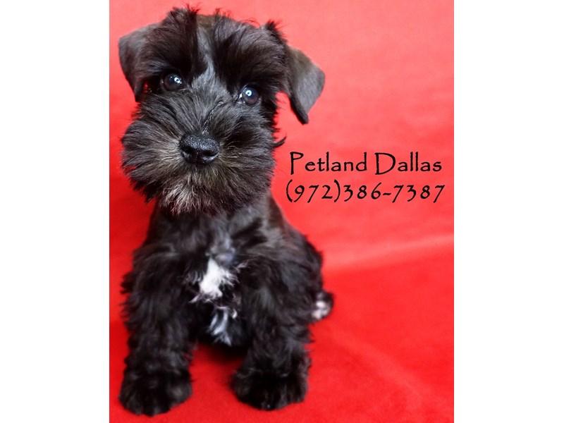 Miniature Schnauzer-Female-Black-2863151-Petland Dallas, TX