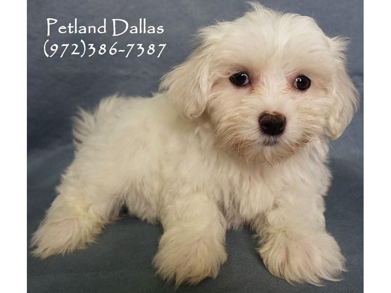 Maltese-Female-White-2863094-Petland Dallas, TX