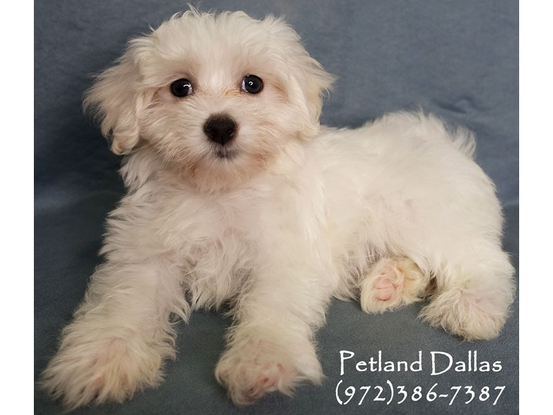 Maltese-Female-White-2863092-Petland Dallas, TX