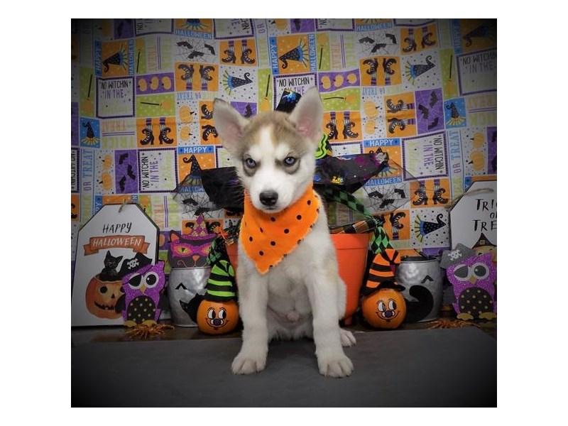 Siberian Husky-Male-Agouti / White-2869644-Petland Dallas, TX