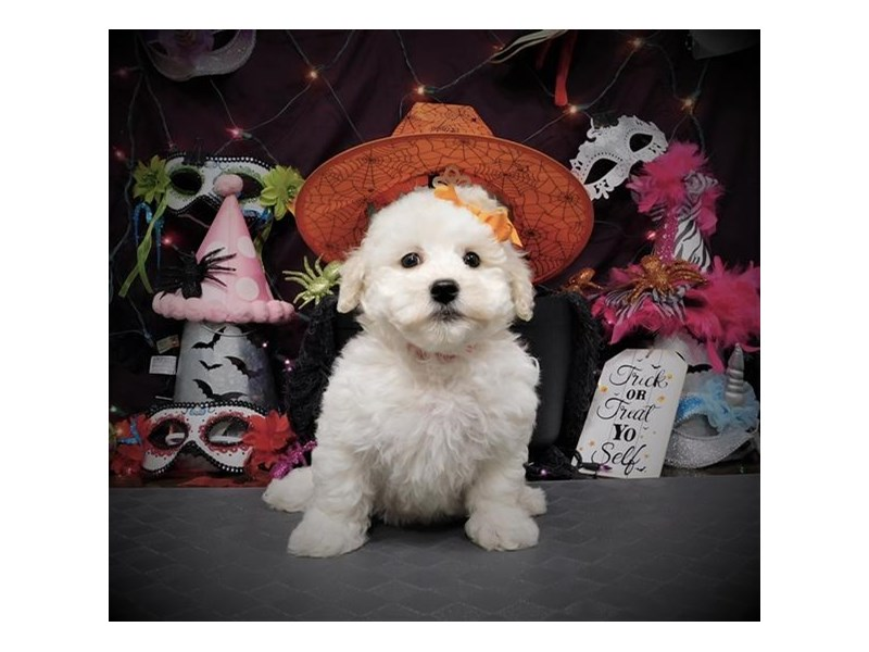Bichon Frise-Female-White-2869645-Petland Dallas, TX