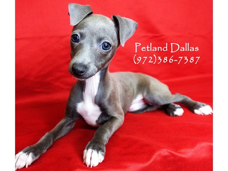 Italian Greyhound-Female-Gray & White-2870326-Petland Dallas, TX