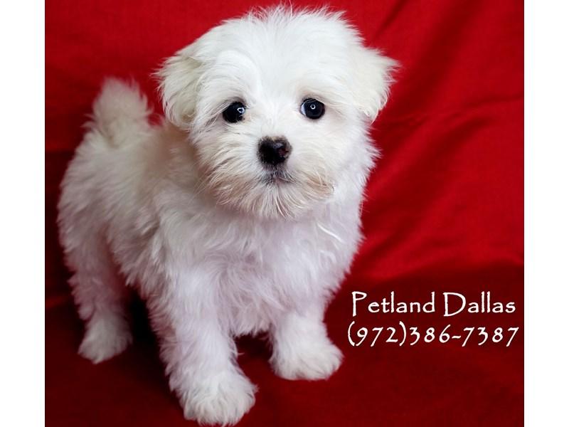 Maltese-Female-White-2870290-Petland Dallas, TX