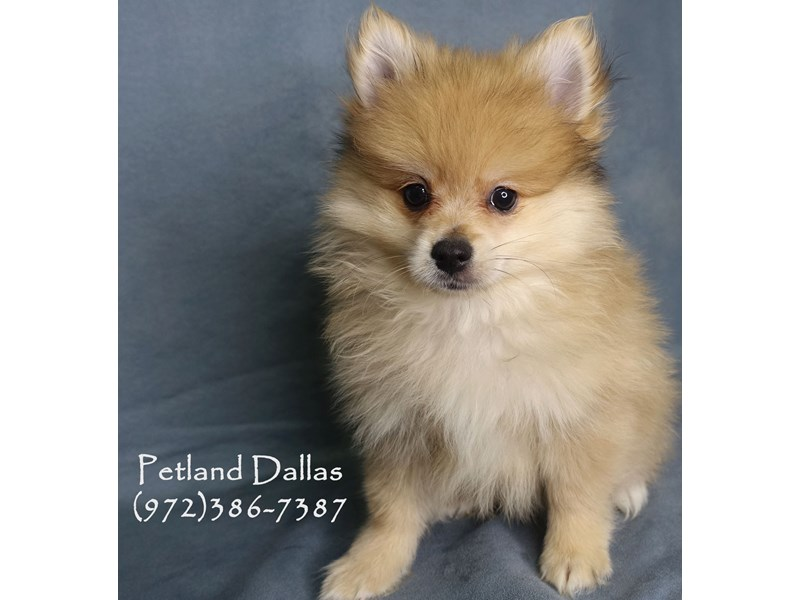 Pomeranian-Male-Orange-2874092-Petland Dallas, TX