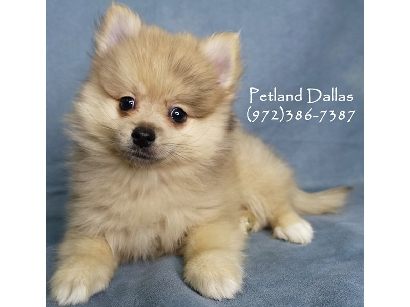 Pomeranian-Male-Orange-2874091-Petland Dallas, TX