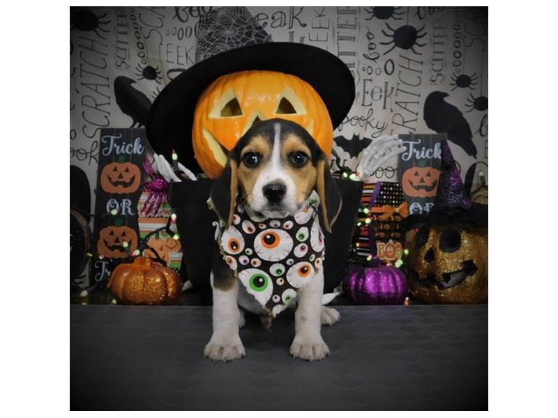 Beagle-Male-Black White / Tan-2876711-Petland Dallas, TX
