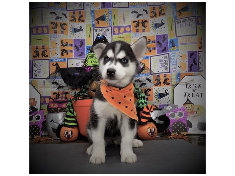 Siberian Husky-Male-Black / White-2876719-Petland Dallas, TX