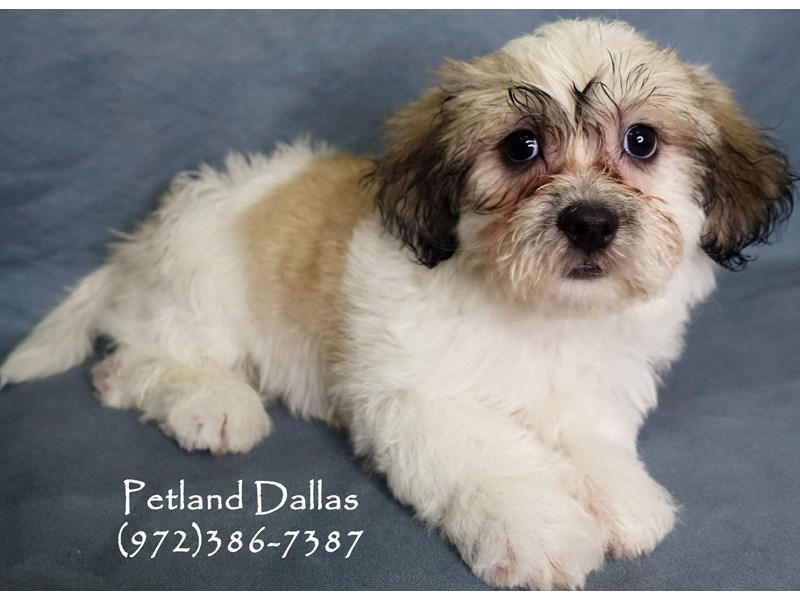 Teddy Bear-Male-Sable and White-2877661-Petland Dallas, TX
