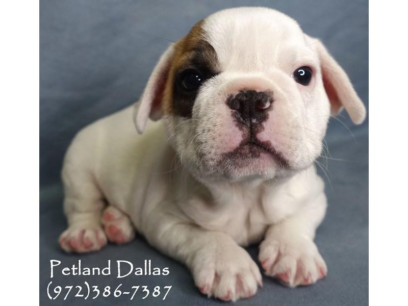 French Bulldog-Male-Cream and Brown-2877627-Petland Dallas, TX