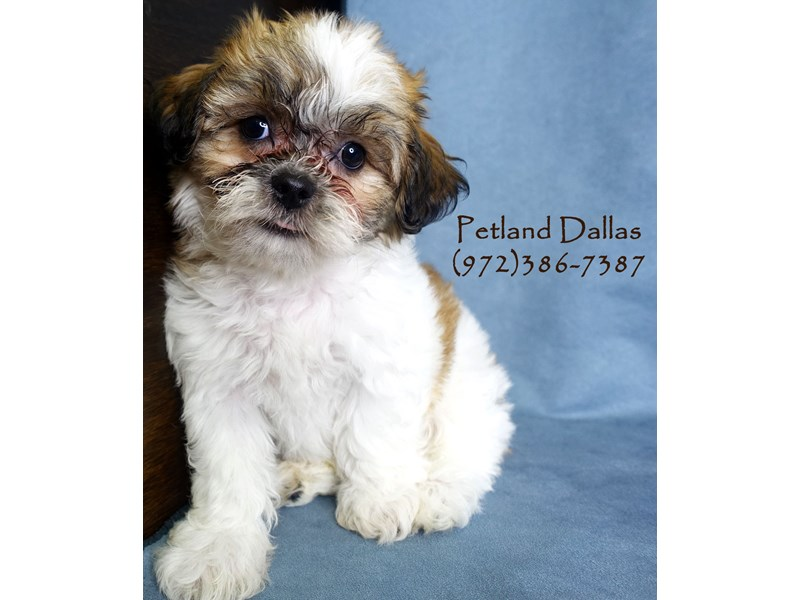 Teddy Bear-Male-Sable and White-2877662-Petland Dallas, TX