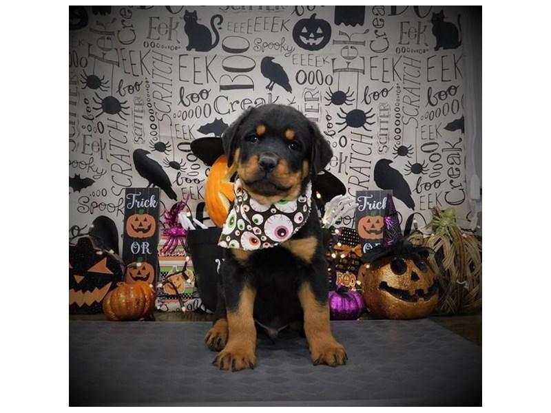 Rottweiler-Male-Black / Tan-2882943-Petland Dallas, TX