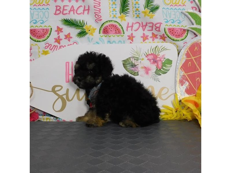 Poodle-Male-Black / Tan-2832259-Petland Dallas, TX