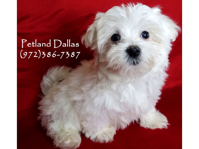 Maltese-Male-White-2877701-Petland Dallas, TX