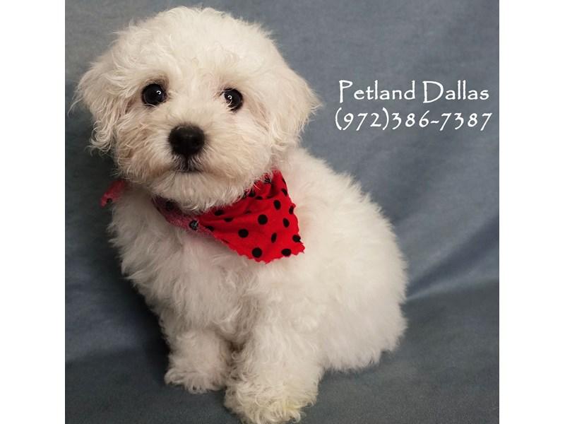 Bichon Frise-Male-White-2877664-Petland Dallas, TX