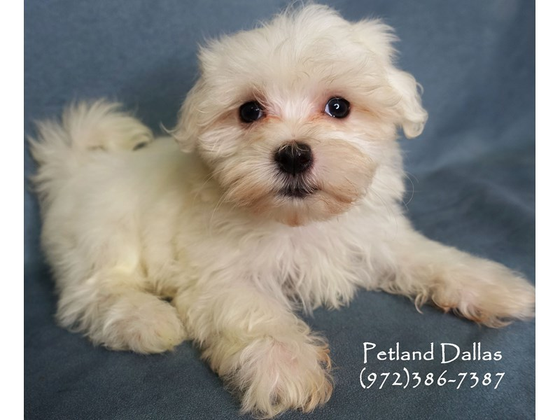 Maltese-Female-White-2877724-Petland Dallas, TX