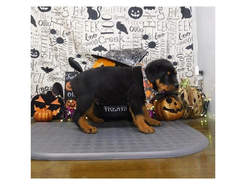 Rottweiler-Male-Black / Tan-2882942-Petland Dallas, TX