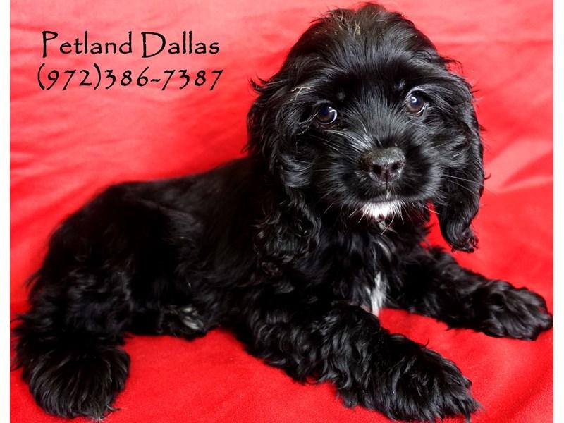 Cocker Spaniel-Female-Black-2884403-Petland Dallas, TX
