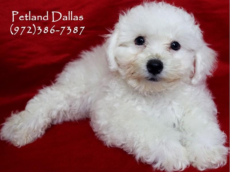 Bichon Frise-Male-White-2877665-Petland Dallas, TX