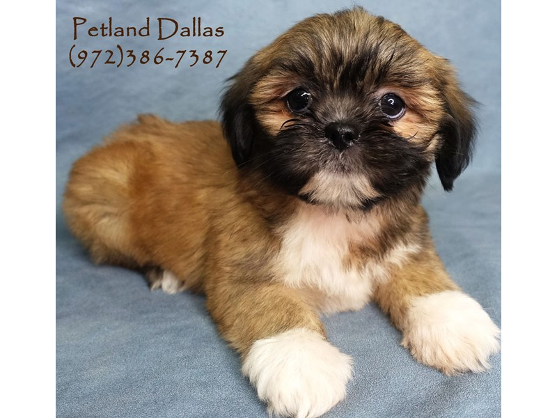 Lhasa Apso-Female-Sable & W/ Black Maks-2885300-Petland Dallas, TX