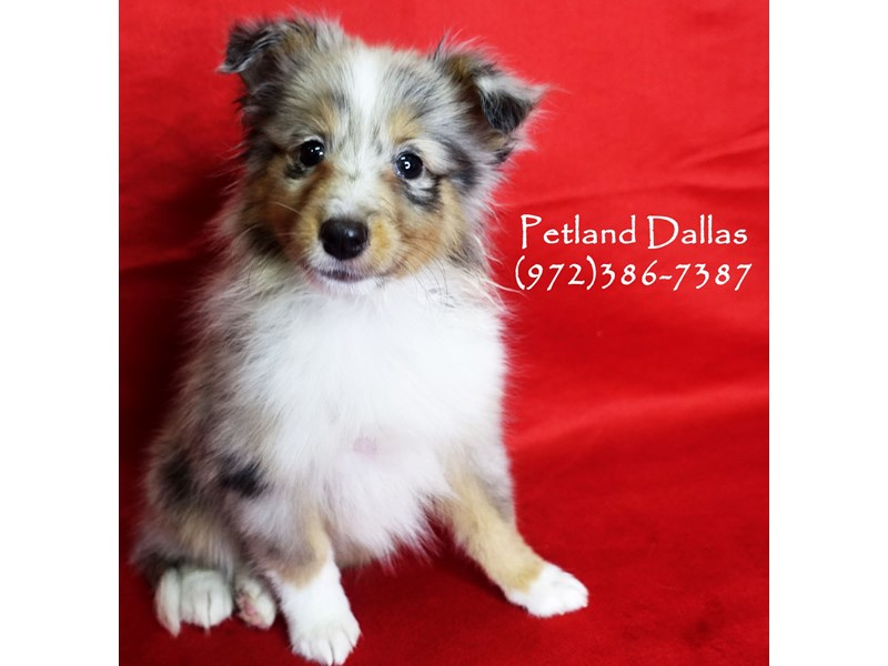 Shetland Sheepdog-Male-Blue Merle White & Tan-2891222-Petland Dallas, TX