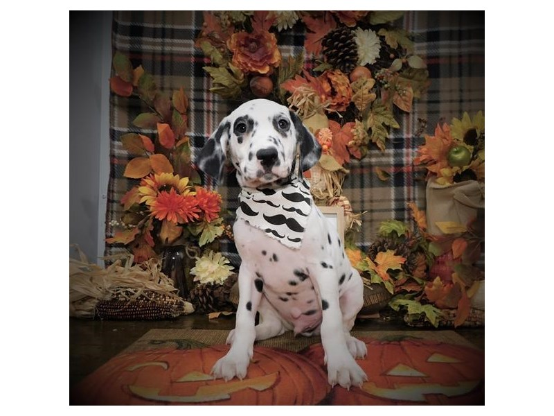 Dalmatian-Male-White / Black-2896283-Petland Dallas, TX