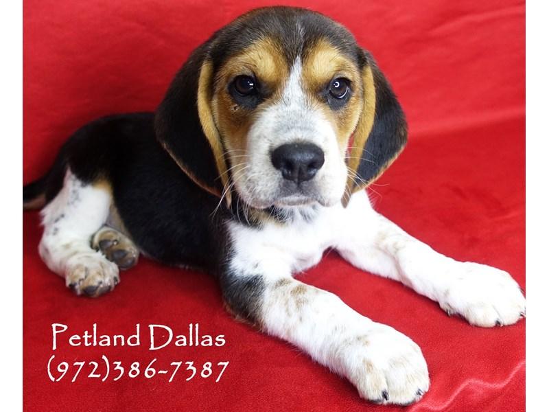 Beagle-Male-Tri-2897840-Petland Dallas, TX