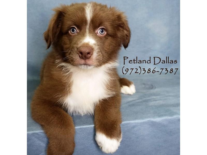 Australian Shepherd-Male-Red Tri-2898272-Petland Dallas, TX