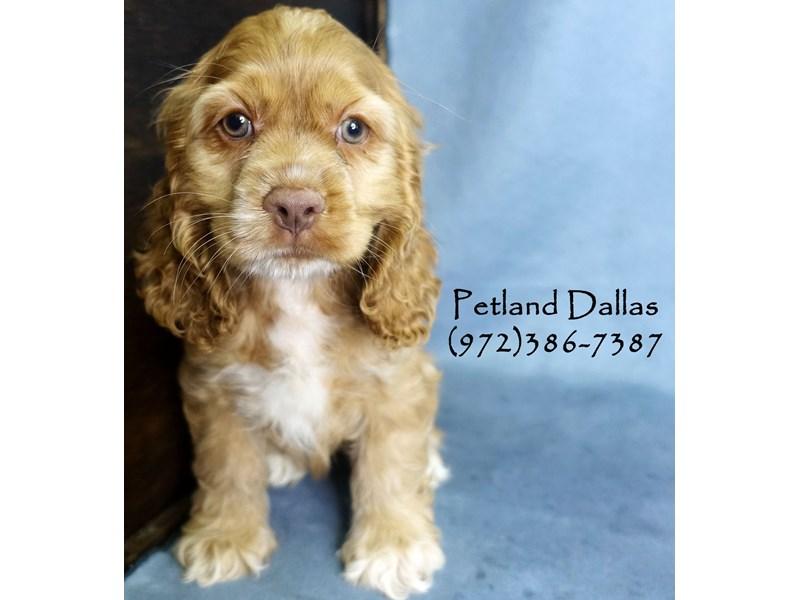 Cocker Spaniel-Female-Buff-2897795-Petland Dallas, TX