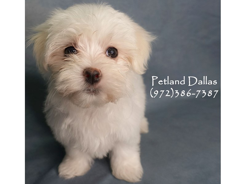 Maltese-Female-White-2905942-Petland Dallas, TX