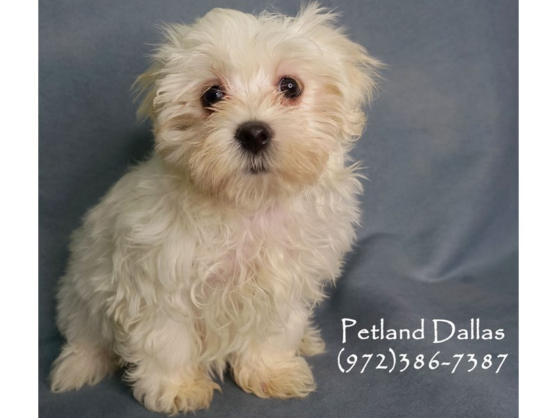 Maltese-Female-White-2905957-Petland Dallas, TX