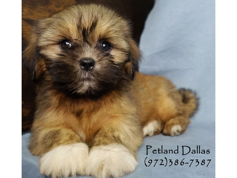 Lhasa Apso-Female-Sable W/ Blk mask-2906528-Petland Dallas, TX