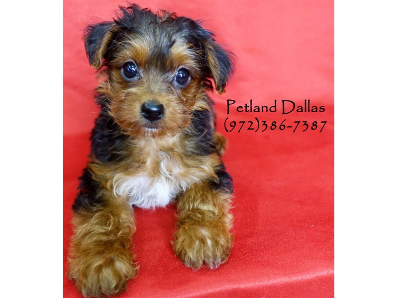 Yorkiepoo-Male-Black & Tan-2906530-Petland Dallas, TX