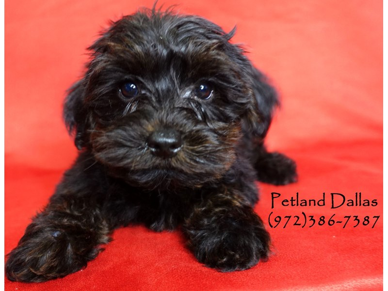 Yorkiepoo-Male-Black & Tan-2906531-Petland Dallas, TX