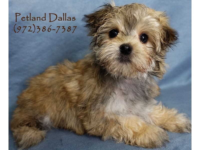 Morkie-Female-Sable-2877673-Petland Dallas, TX